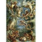 Ernst Haeckel - batrachia