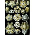 Ernst Haeckel - blastoidae