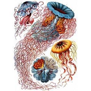Ernst Haeckel - disocmedusae 8