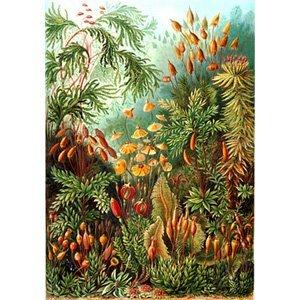 Ernst Haeckel - muscinae