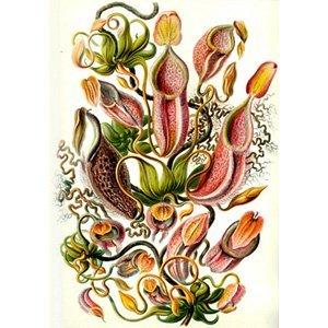 Ernst Haeckel - nepaenthaceae