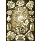 Ernst Haeckel - teleostei