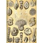 Ernst Haeckel - thalamophora