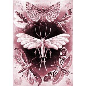 Ernst Haeckel - tineida 3