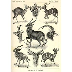 Antilopina - Antilopen