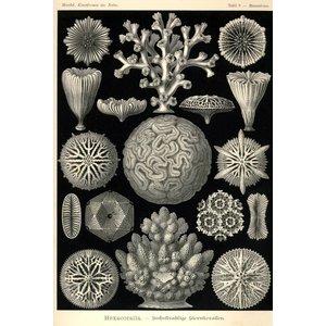 Hexacoralla - Sechstrahlige Sternkorallen