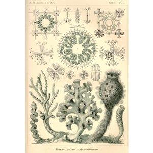 Hexactinellae - Glasschwämme