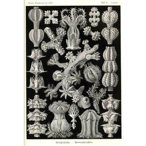 Gorgonida - Rindenkorallen