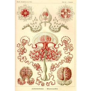Anthomedusae - Blumenquallen