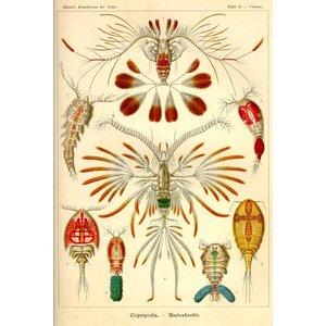 Copepoda - Ruderkrebse