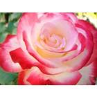 Rose 026a