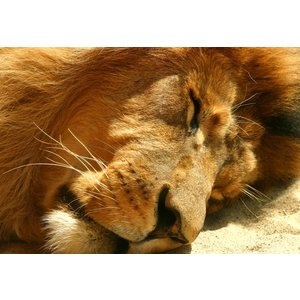 Tiere-Löwe