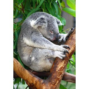 Koala 1253