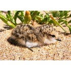 Red capped plover chick 1508