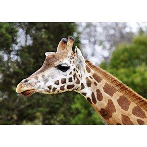Giraffe 1444