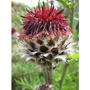 Centaurea_atropurpurea,_RBGE_2010 Lokal_Profil