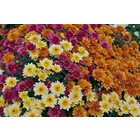 Chrysanthemum_x_morifolium_Dompierre_3 By Jebulon