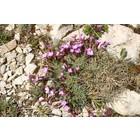 Dianthus-subacaulis-flowers By Sten Porse