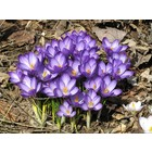 PurpleCrocus By Sue WelshSuW