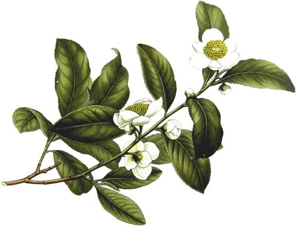 Ti-Ji Green Tea Afslankpleisters - Camellia Sinensis - Groene Thee Plant