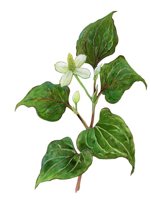 Detox Pleisters Bestanddelen - Dokudami plant