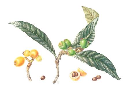 Detox Pleisters Bestanddelen - Loquat blad