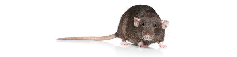 Ratten Bestrijden