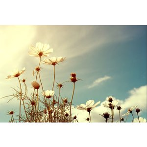 Fotobehang Cosmos Flower 3 op maat