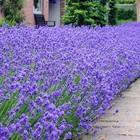 Lavendela ang. 'Hidcote'