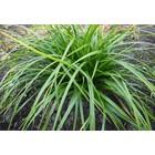 Carex morrowii 'Mosten'