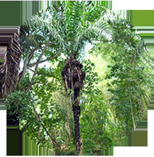 Tagua Palm