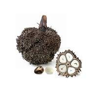 Tagua noten