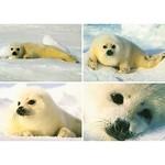 Prentkaarten zeehonden