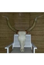 Damn Longhoorn 1.10 m hoog.