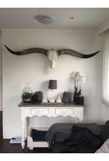 Damn Longhoorn grijze hoorns zwarte uiteinden 1,70m