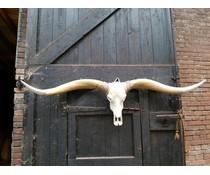 Long Horn brown horns white point