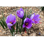 Vibrant Saffron