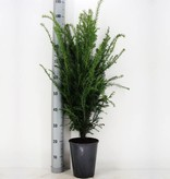 Taxus Baccata in pot (60-80cm)