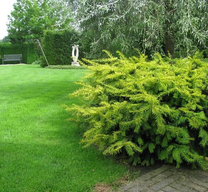 Taxus Baccata 'Summergold' in pot (25-30cm)
