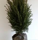 Taxus Baccata maat 60-80 cm