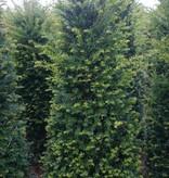 Taxus Baccata maat 200-225 cm