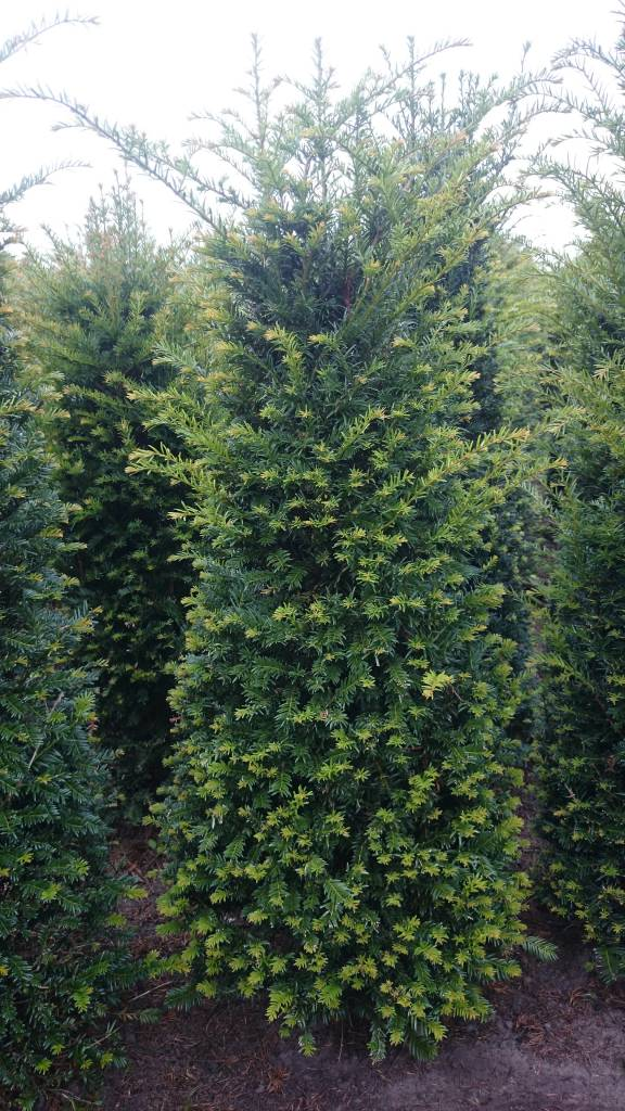 Taxus Baccata 200-225 cm
