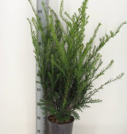 Taxus media 'Groenland' in pot (60-80cm)