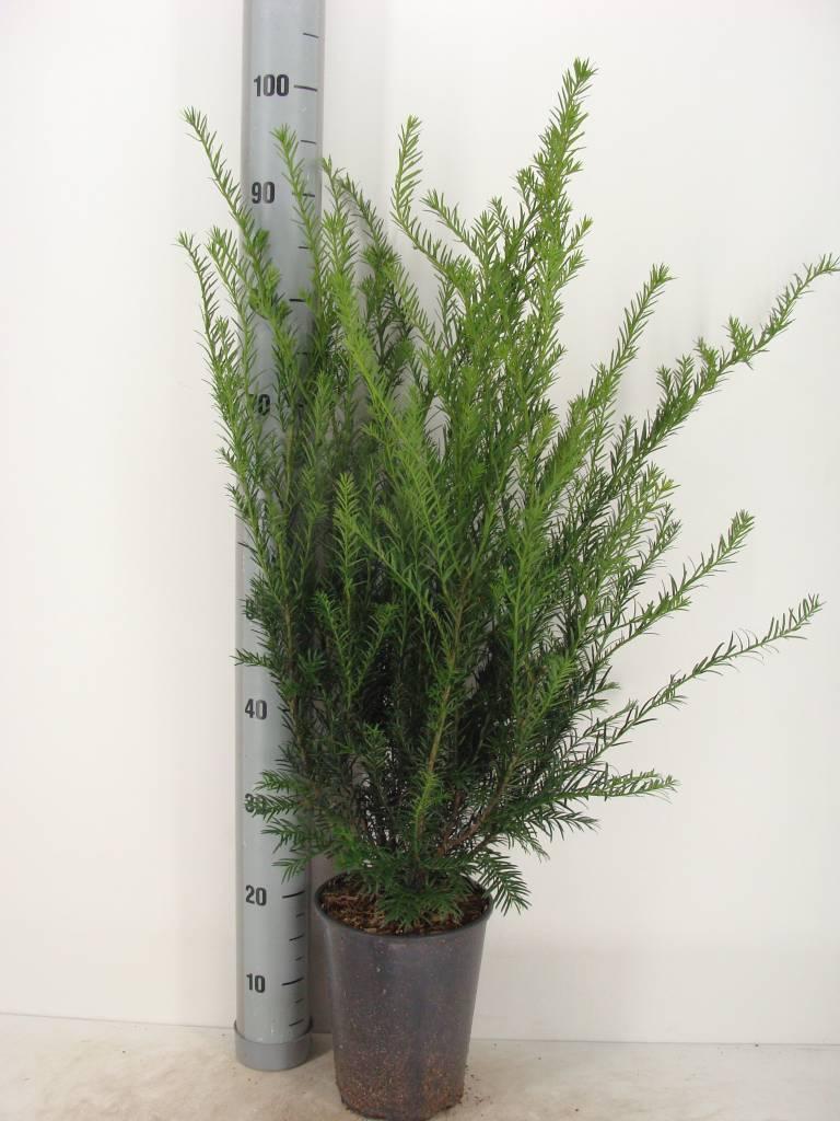 Taxus media 'Groenland' in pot (60-80cm)