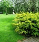 Taxus Baccata 'Summergold' in pot (40-50cm)