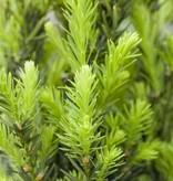 Taxus media 'Hillii' in pot (80-100cm)
