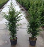 Taxus Baccata in pot (90-100cm)