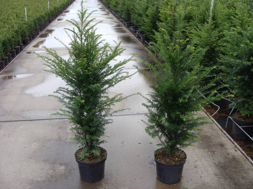 Taxus baccata in pot (100-125cm)