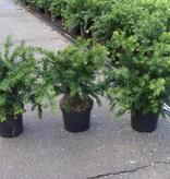 Taxus Baccata 'Repandens' in pot (25-30cm)