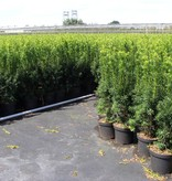Taxus media 'Hicksii' in pot (50-60cm)